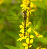 Band-winged Dragonlet - female