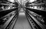 Chicken farm in The Netherlands
