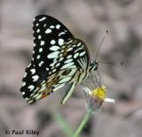 Chequered Swallowtail with CP5700
