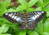 Butterfly from Singapore