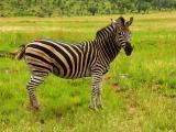 Animals of the Pilanesberg Game Park - January, 2005