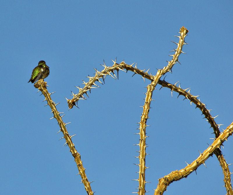 Bird on ocotillo