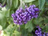 Purple Lantana, (Lantana camara)