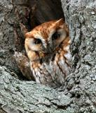 Eastern Screech Owl red phase - Otis asio