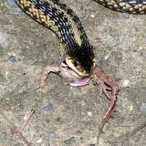 Garter Snake - Thamnophis sirtalis
