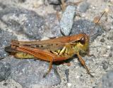 Red-legged Grasshopper - Melanoplus femurrubrum (female)