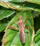 Megalotomus quinquespinosus