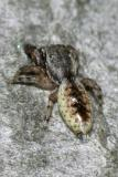 Jumping Spiders - Genus Admestina