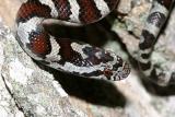 Eastern Milk Snake - Lampropeltis triangulum triangulum