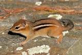 Eastern Chipmunk - Tamias striatus