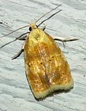 3503 -- Oak Leafshredder Moth -- Acleris semipurpurana