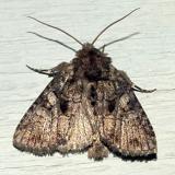 10589.1 -- Obscure Quaker Moth -- Orthodes [Polia] obscura