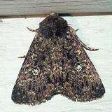 9666 - Fall Armyworm Moth -- Spodoptera frugiperda