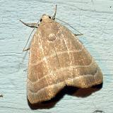 9169 -- Three-lined Bagisera Moth -- Bagisara rectifascia