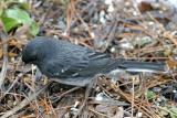 Dark-eyed Junco - Junco hyemalis (with faint wing bars)