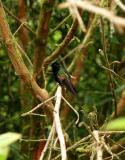 Black-bellied Hummingbird (?)