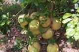 jackfruit ???