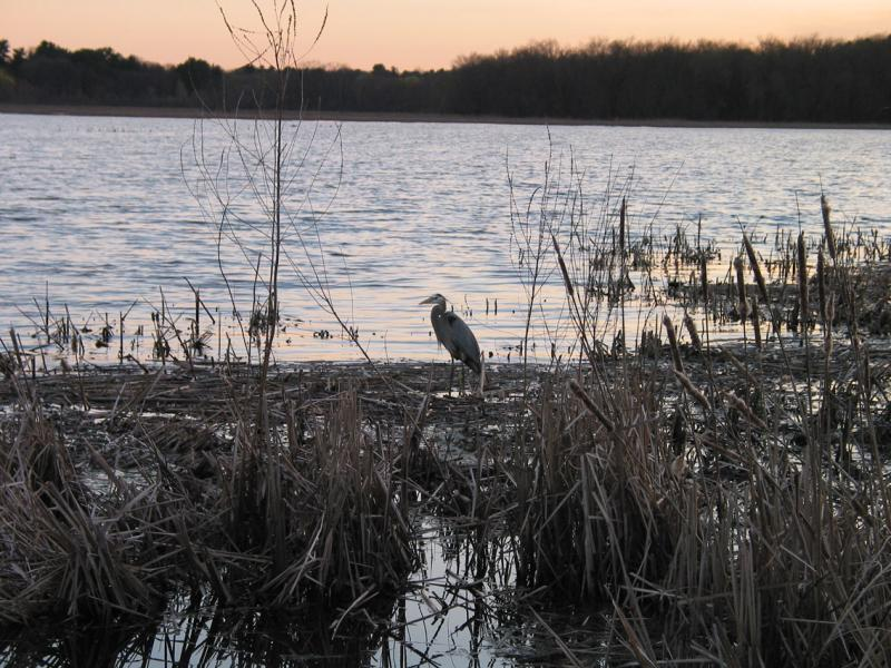 Great Blue Heron at Great Meadow