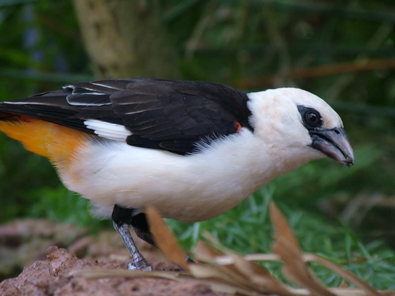 White-Headed Bullafo Weaver
