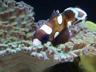Anemonefish and Zoanthid Corals @ Waikiki Aquarium, Hawaii
