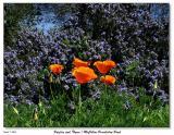 Califonia Poppies