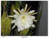 Flashed Epiphyllum
