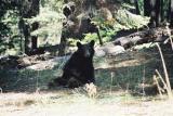 Black Bear - Sequoia N. P.