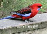Crimson_Rosella_on_fence