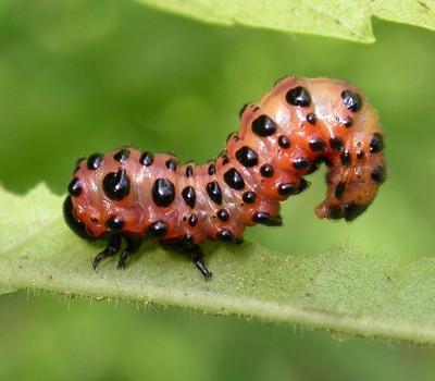 Arge coccinea (Fabricius) (?)  larva feeding on sumac