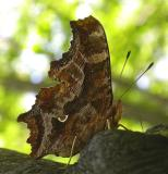 Eastern Comma  -- Polygonia comma butterfly