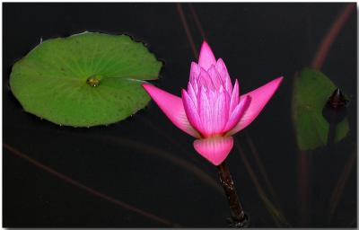 Water lilly at dusk, Bombay