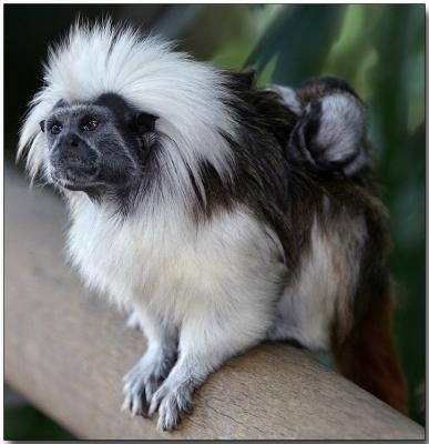 Cotton-top Tamarin with young