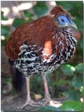 Vieillot's Crested Fireback - female