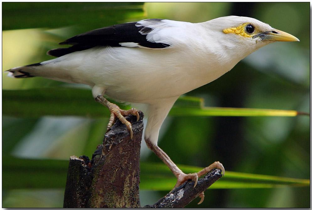 Black-winged Starling - female
