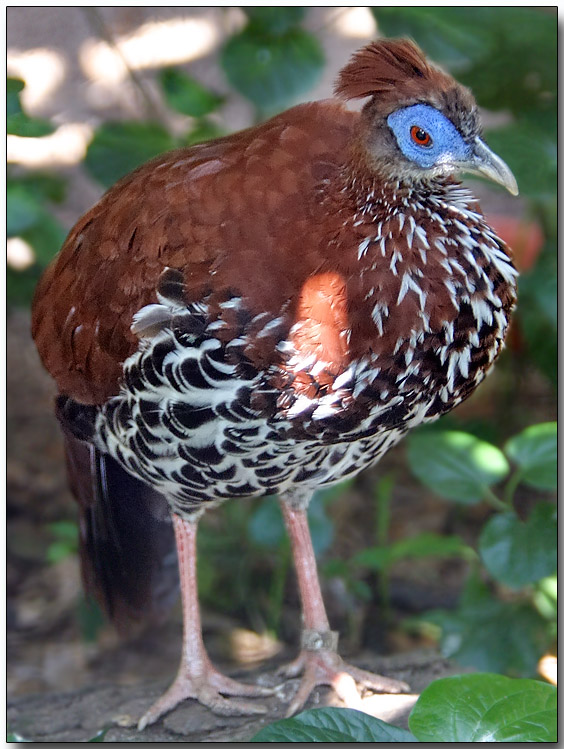 Vieillots Crested Fireback - female