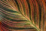Cana Lily Leaf