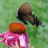 Female Tiger Swallowtail & Cone Flower