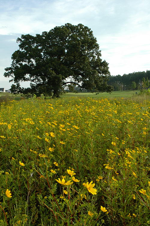 8/30/04 - Tickseed Sunflowers & Red Oak
