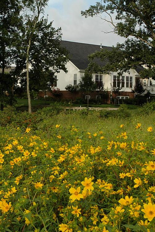 Tickseed Sunflowers