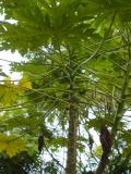papaya tree near Flamengo, Rio de Janeiro