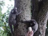 micos (monkeys)