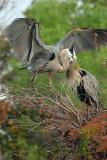 Great Blue Herons Hug