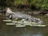 Crocodiles (Crocodylidae)