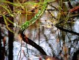 moeras Oostzanerveld, het domein van de krulleman