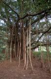 84-Banyan-Tree