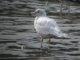 Glaucous Gull, Gloucester, Massachusetts, February 2004