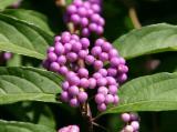 Beautyberry Bush or Callicarpa
