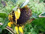 a Sun flowers