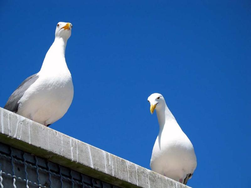 Alcatraz gulls