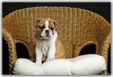 hannah_the_english_bulldog